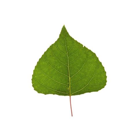poplar tree leaf buy standing poplar trees in michigan timber
