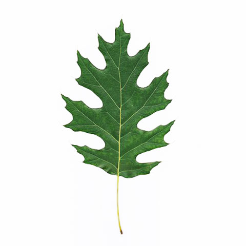 Oak tree leaf buy standing timber buy oak trees