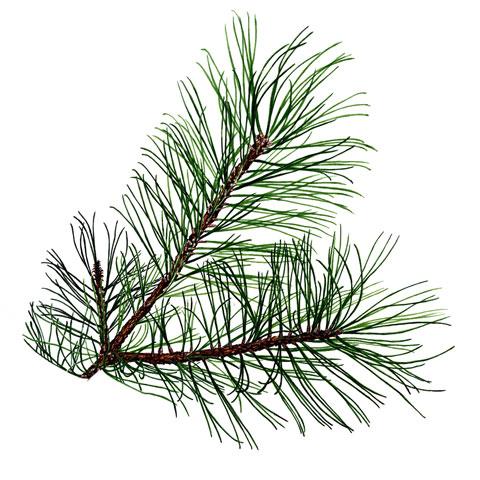 Pine needles buy pine trees in michigan